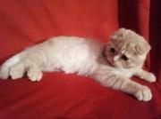 Британский кот приглашает на вязку.