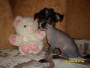 Китайская хохлатая собачка щеночки милые,  добрые и ласковые