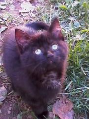 Шоколадный котенок в добрые руки